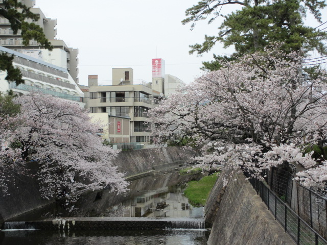 夙川公園2013-8(片鉾橋から桜)