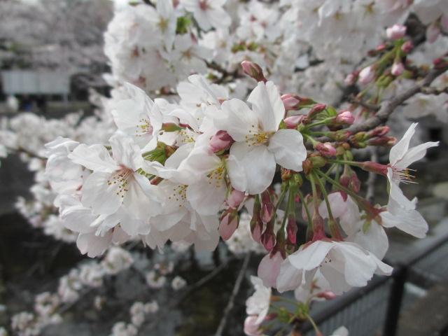 夙川公園2013-19