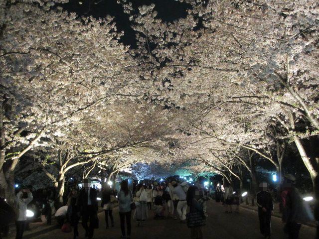 万博記念公園 夜桜2013-8