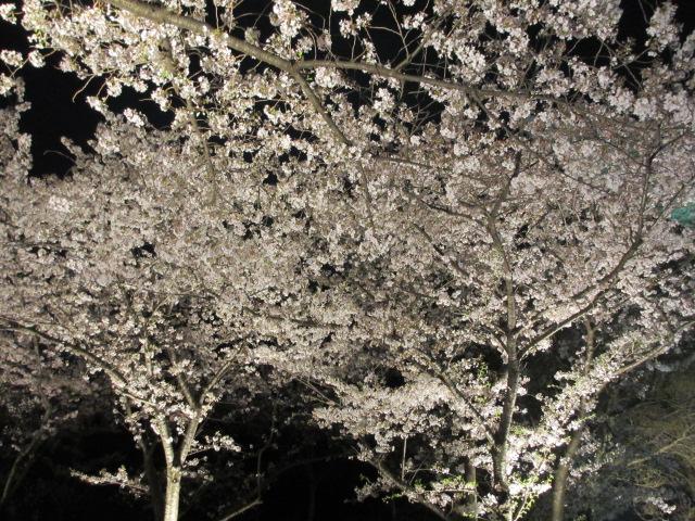 万博記念公園 夜桜2013-16
