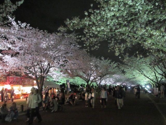 万博記念公園 夜桜2013-17