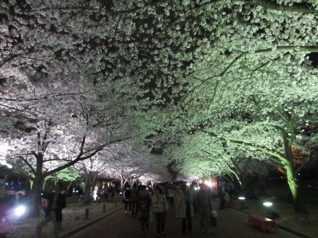 万博記念公園 夜桜2013-20