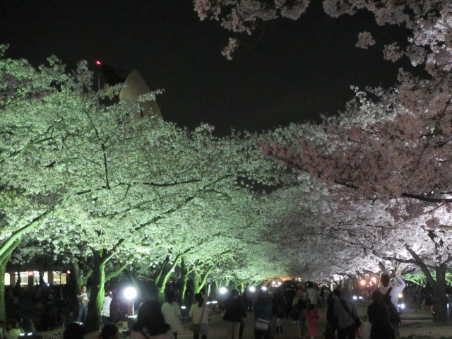 万博記念公園 夜桜2013-25
