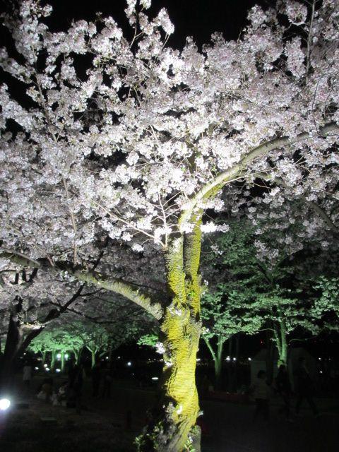 万博記念公園 夜桜2013-26