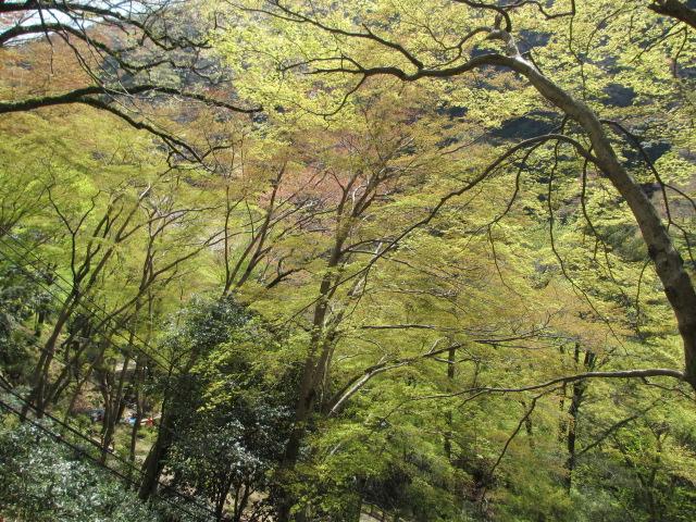 箕面滝2013春-6