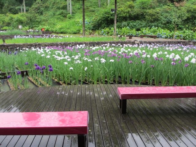 播州山崎花菖蒲園-34