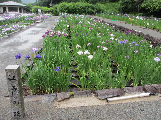 播州山崎花菖蒲園-50