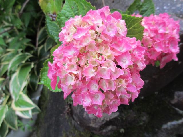 播州山崎花菖蒲園-42