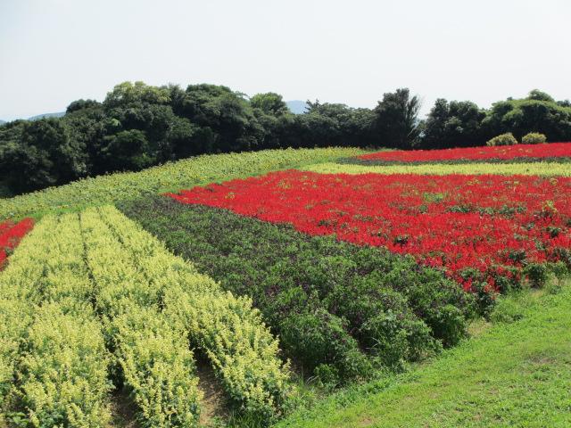あわじ花さじき2013年8月-18