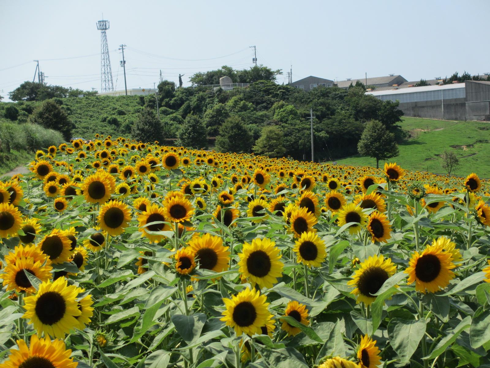 あわじ花さじき2013年8月-31