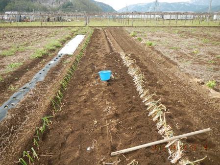 ネギの植え付け作業 (2)