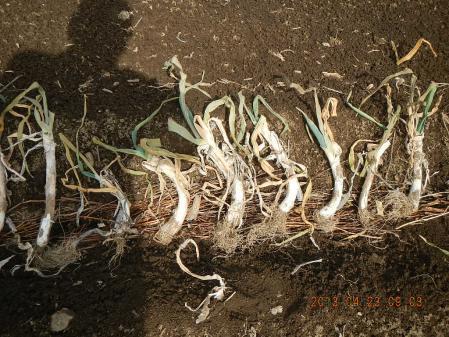 ネギの植え付け作業 (1)