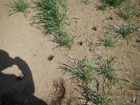麦の除草作業 (1)