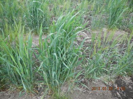 麦の除草作業 (3)