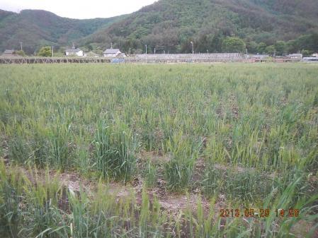 麦の除草作業 (4)