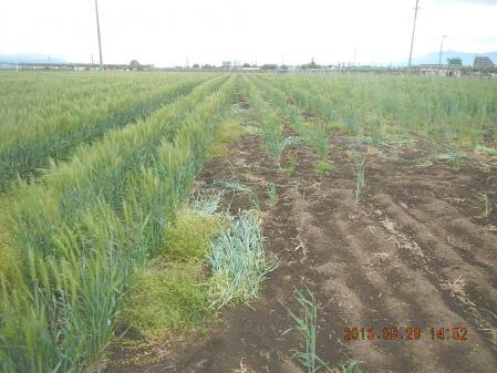 麦の除草作業 (2)