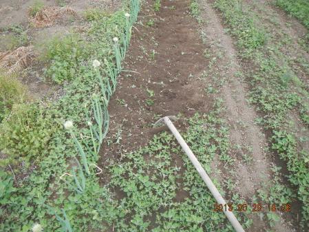 長ネギの土寄せ (1)