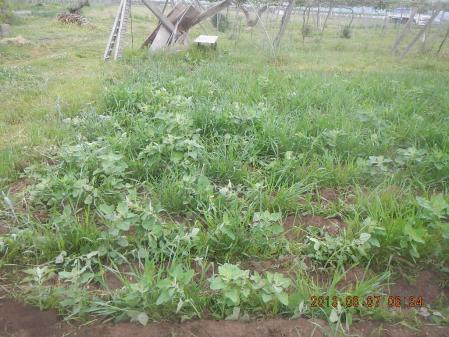 春蒔き麦の除草 (2)
