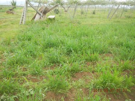 春蒔き麦の除草 (4)