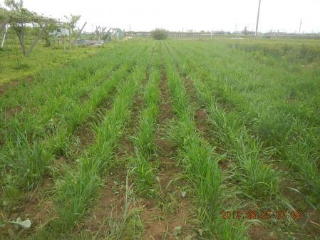 春蒔き麦の除草 (3)
