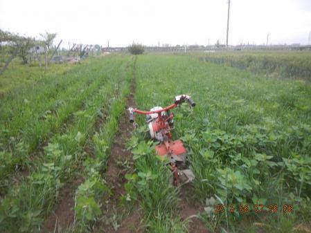 春蒔き麦の除草 (1)