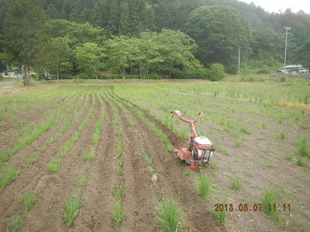 春蒔き黒麦