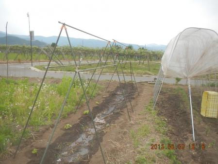 苗の定植作業 (3)