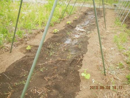 苗の定植作業 (7)