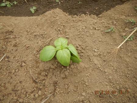 苗の定植作業 (5)