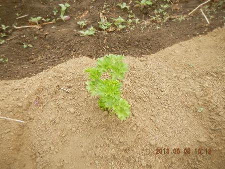 苗の定植作業 (4)