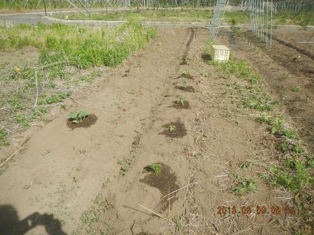 苗の定植作業 (1)