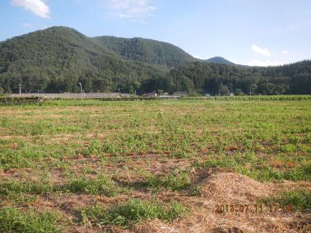 麦刈り (1)