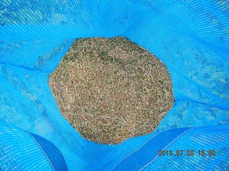 春蒔き小麦 (6)