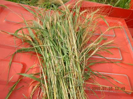 春蒔き小麦 (5)
