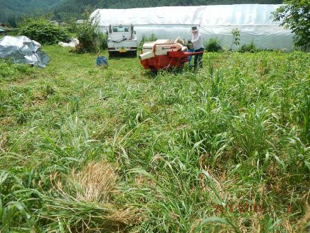 春蒔き小麦 (3)