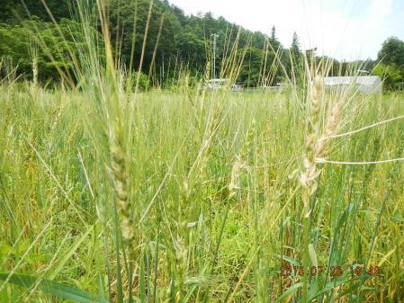 春蒔き黒小麦 (1)