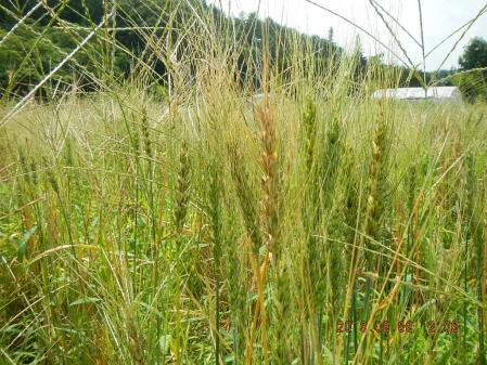 かえで農場の黒麦 (2)
