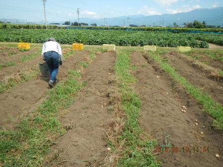 ジャガイモ掘り (5)