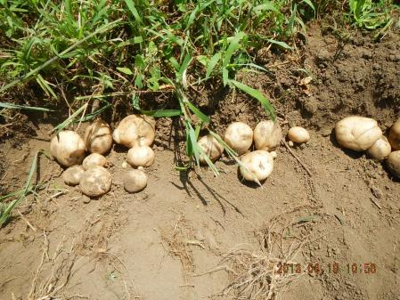 ジャガイモ掘り (4)