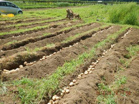 ジャガイモ掘り (3)