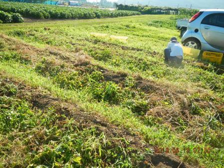 ジャガイモ掘り (2)