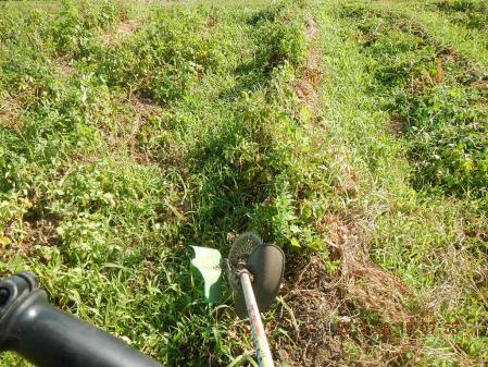 ジャガイモ掘り (1)
