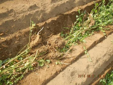 秋蒔き野菜の畝作り (2)