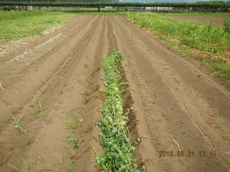 秋蒔き野菜の畝作り (1)
