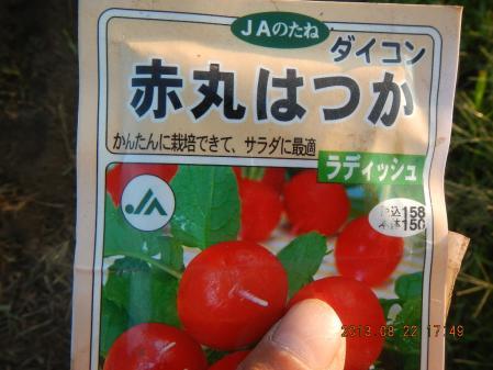 秋野菜の種蒔き (10)