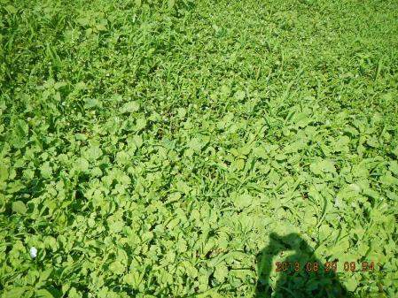 麦畑耕起作業 (4)