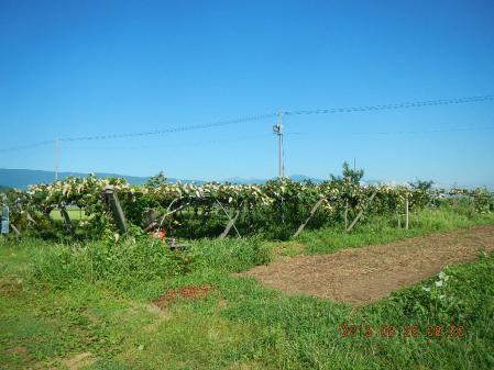 麦畑耕起作業 (2)