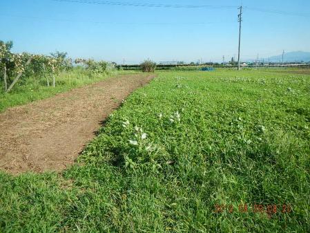 麦畑耕起作業 (1)
