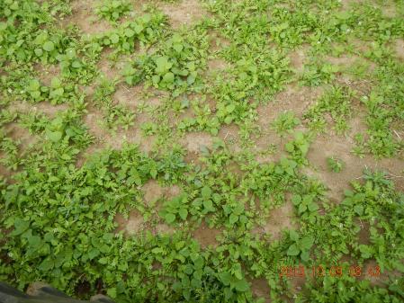 麦畑の耕起作業 (2)
