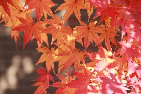 鎌倉のモミジ